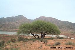 Arganier - Argania spinosa